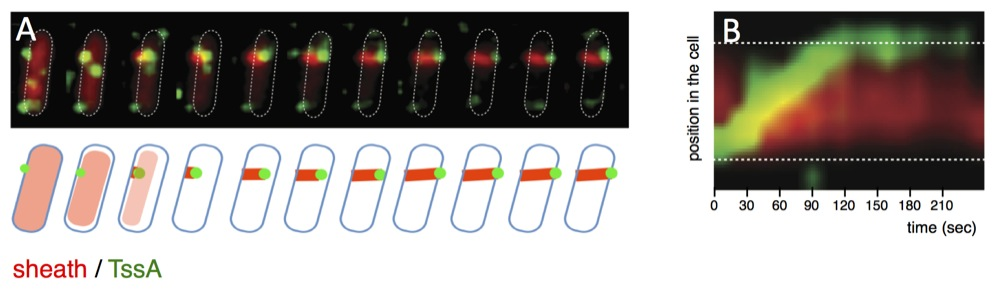 TssA dynamics. (A) Time-lapse fluorescence recordings of wild-type cells producing TssB-mCh (red) and GFP-TssA (green). A schematic representation of the events are shown below. (B) Kymograph analyses of the sheath and TssA dynamics.